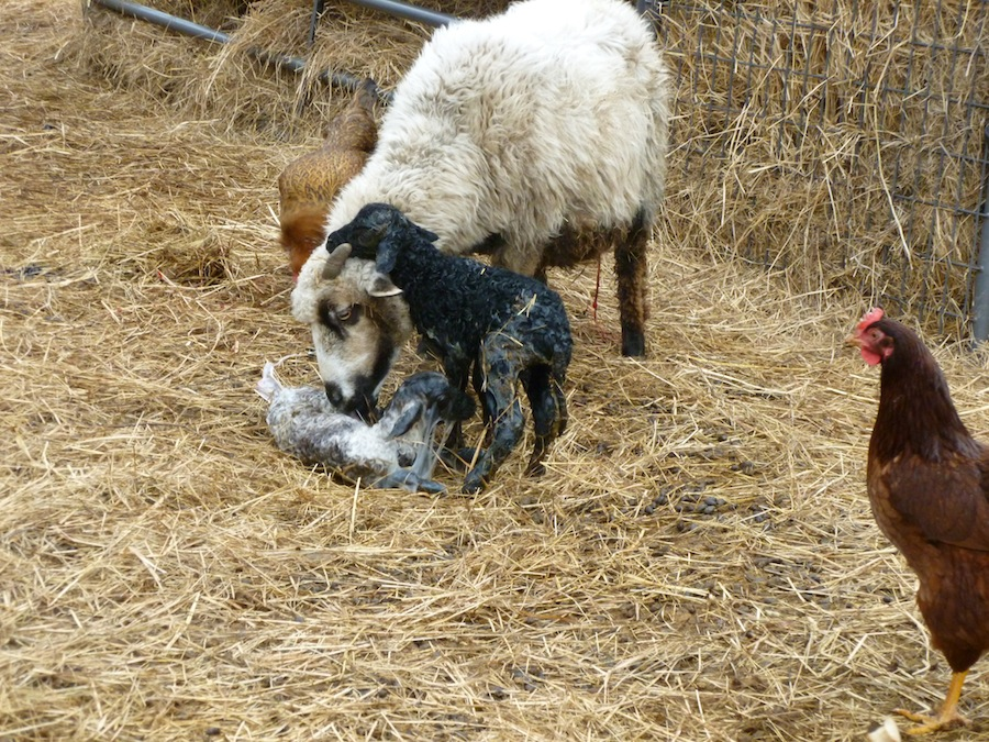 Eve cleans her lamb